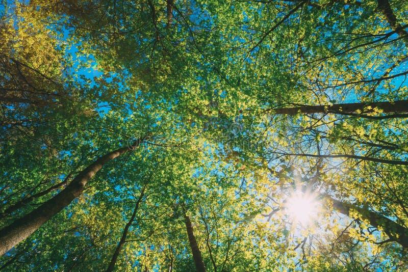 Wiosny lata słońca jaśnienie Przez baldachimu Wysokich drzew drewna Górne gałąź drzewa obraz royalty free