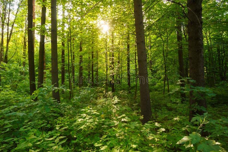 Wiosny lata słońca jaśnienie Przez baldachimu Wysocy Zieleni drzewa Zaleca się zdjęcia stock