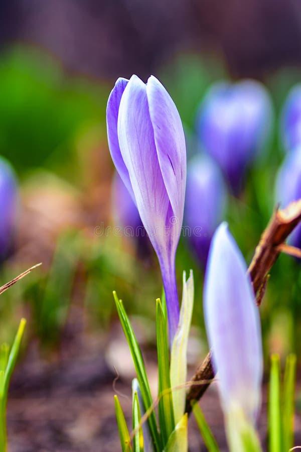 Wiosny natury krajobrazu dziki lily kwiat w łące na naturalnym tle Marzycielski delikatny wizerunek wczesny poranek miękkie ognis zdjęcia royalty free