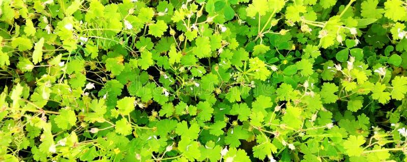 Wiosny natury tło z dandelions w zielonej trawie obrazy royalty free
