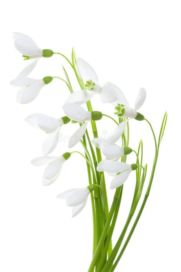 Wiosny okwitnięcia śnieżyczki kwiaty na zielonym trzonie odizolowywającym na białym tle zdjęcia royalty free