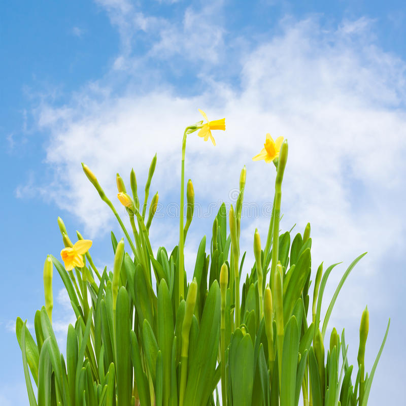 Wiosny okwitnięcia daffodil kwiatów pączków niebieskie niebo zdjęcia royalty free