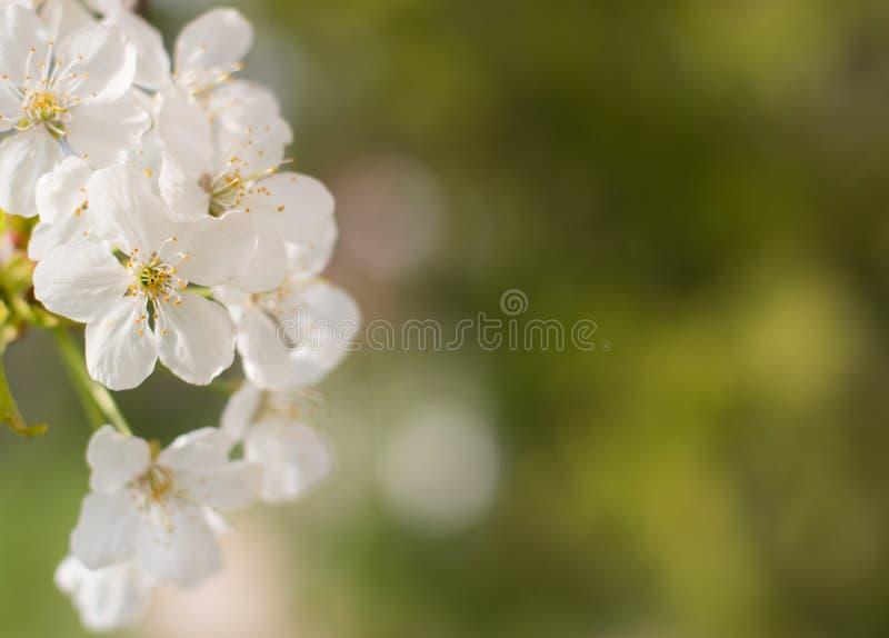 Wiosny okwitnięcia tło, zieleń liście i biali kwiaty, obrazy royalty free