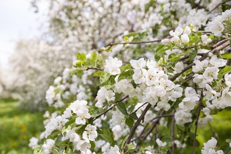 Wiosny okwitnięcie: gałąź kwitnąć jabłoni na nieba tle obrazy royalty free