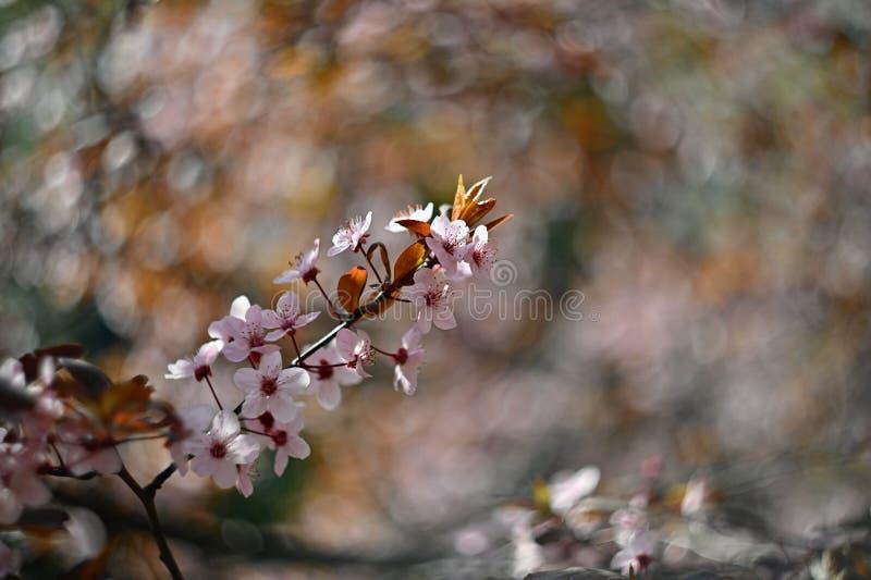 Wiosny okwitni?cia t?o Pi?kna natury scena z kwitn?? czere?niowego drzewa - Sakura Sadu abstrakta zamazany t?o wewn?trz zdjęcie stock