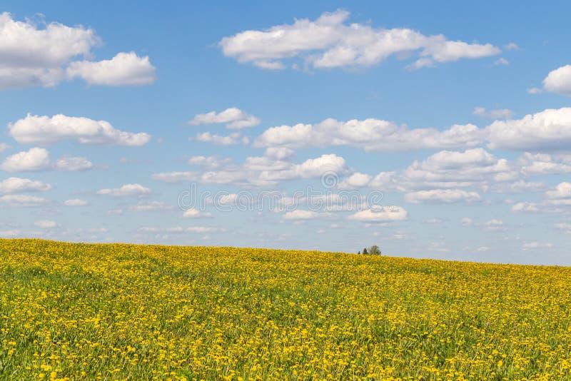 Wiosny pole z żółtymi dandelions kwiatami, niebieskim niebem i zdjęcie royalty free