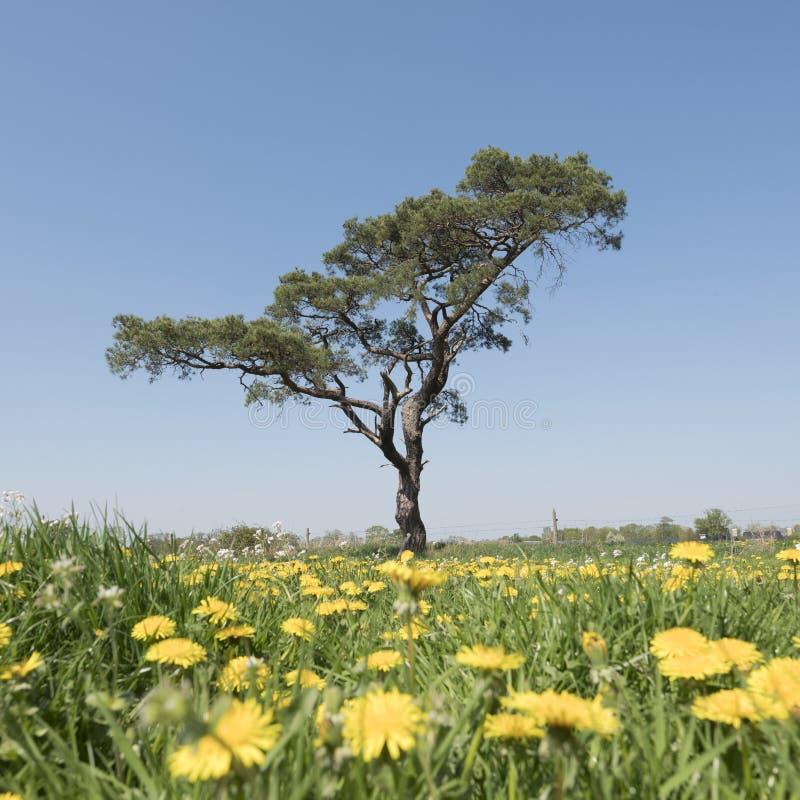 Wiosny pole z kwitnąć dandelions i innego lato kwitnie z osamotnioną sosną przeciw niebieskiemu niebu w Holland fotografia stock
