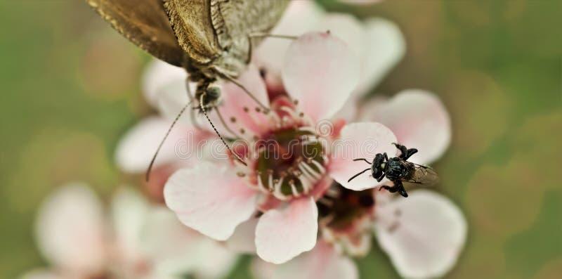 Wiosny prawdziwa malutka Australijska rodzima stingless pszczoła obrazy royalty free