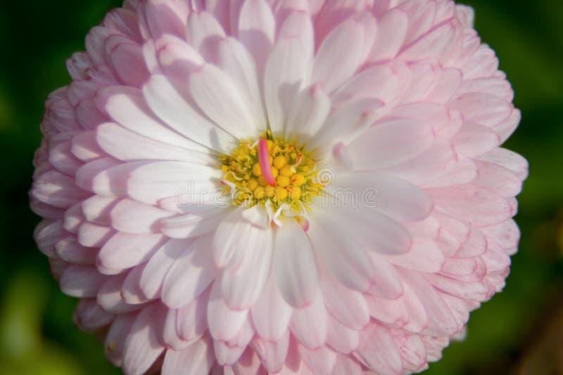 Wiosny różowa stokrotka w naturalnym środowisku, makro- obrazy stock