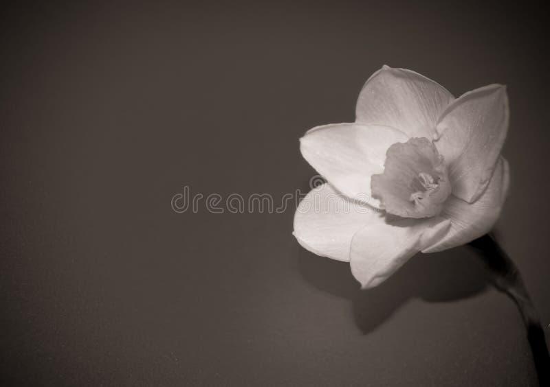 Wiosny rośliny kwiatu daffodil makro- fotografia zdjęcia stock