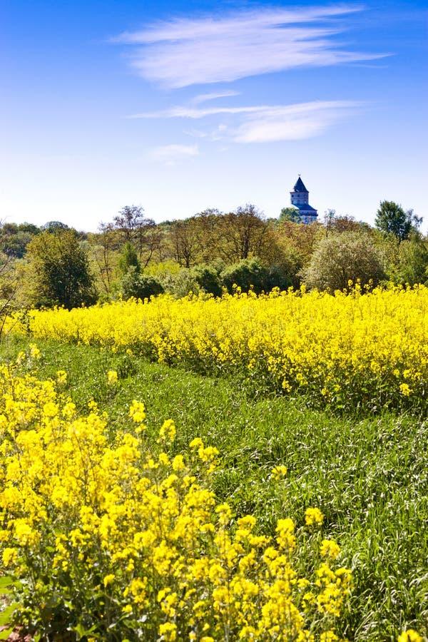 wiosny rolnictwo - żółty gwałta pole blisko Sobotka, Artystyczny raju krajobraz, republika czech obraz royalty free