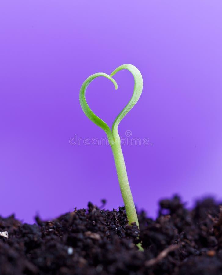Wiosny rozsada w kształcie serce fotografia stock