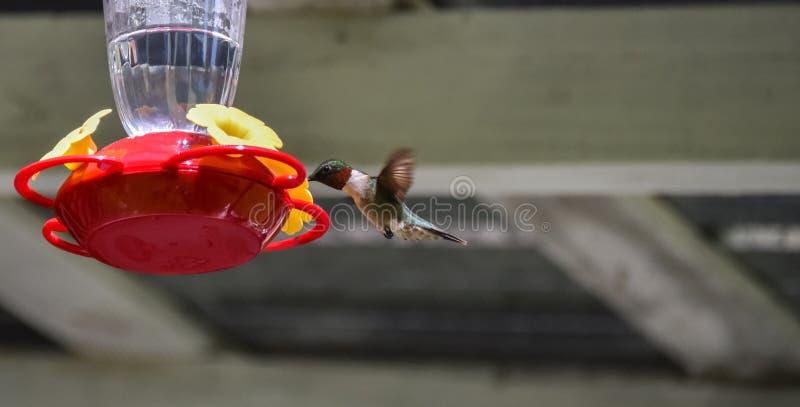 Wiosny Rubinowy throated hummingbird (Archilochus colubris) obrazy royalty free