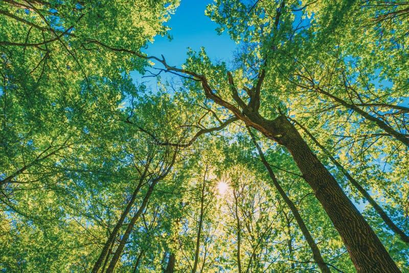 Wiosny słońca jaśnienie Przez baldachimu Wysocy drzewa Drzewo górne gałąź obrazy royalty free