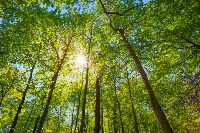 Wiosny słońca jaśnienie Przez baldachimu Wysocy drzewa fotografia royalty free