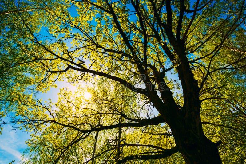 Wiosny słońca jaśnienie Przez baldachimu Wysoki dąb zdjęcie royalty free