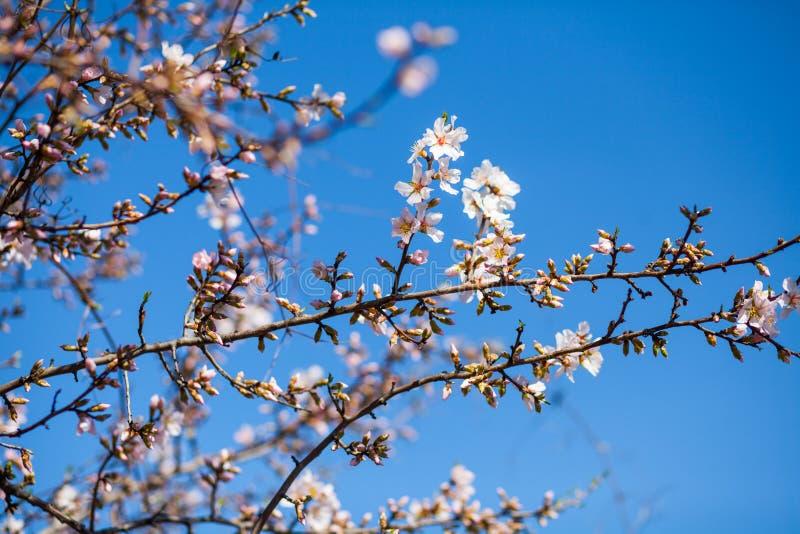 Wiosny tło z menchii okwitnięciem obraz stock