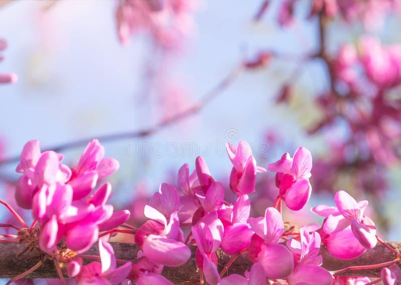 Wiosny tło z menchii okwitnięciem Piękna natury scena z kwitnącym drzewem i słońcem zdjęcia royalty free
