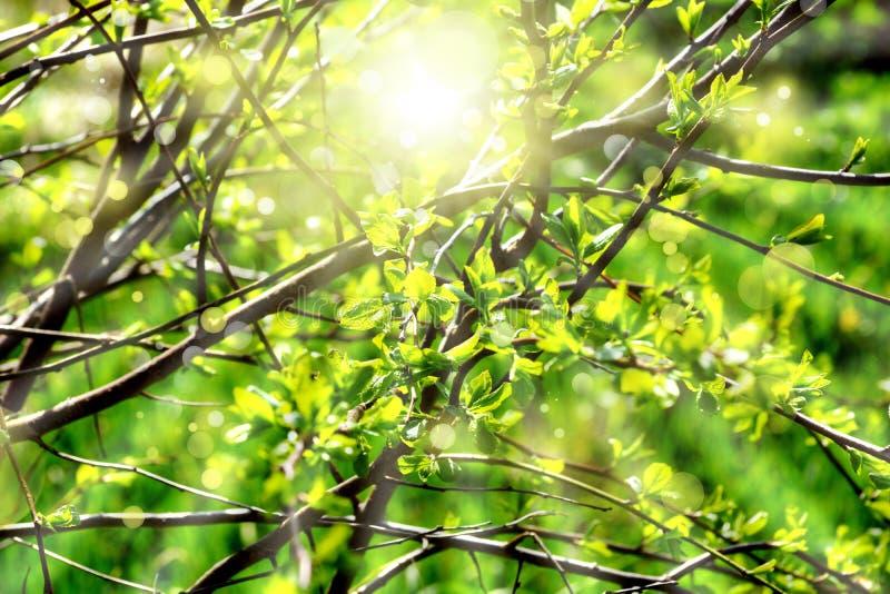 Wiosny tła potomstw zieleń opuszcza gałąź bokeh słońce zdjęcia stock