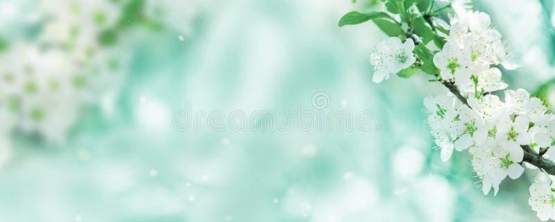 Wiosny tło, biali kwiaty, sztandar fotografia stock