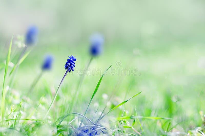 Wiosny tło - okwitnięcie muscari kwitnie w polu Spr fotografia stock