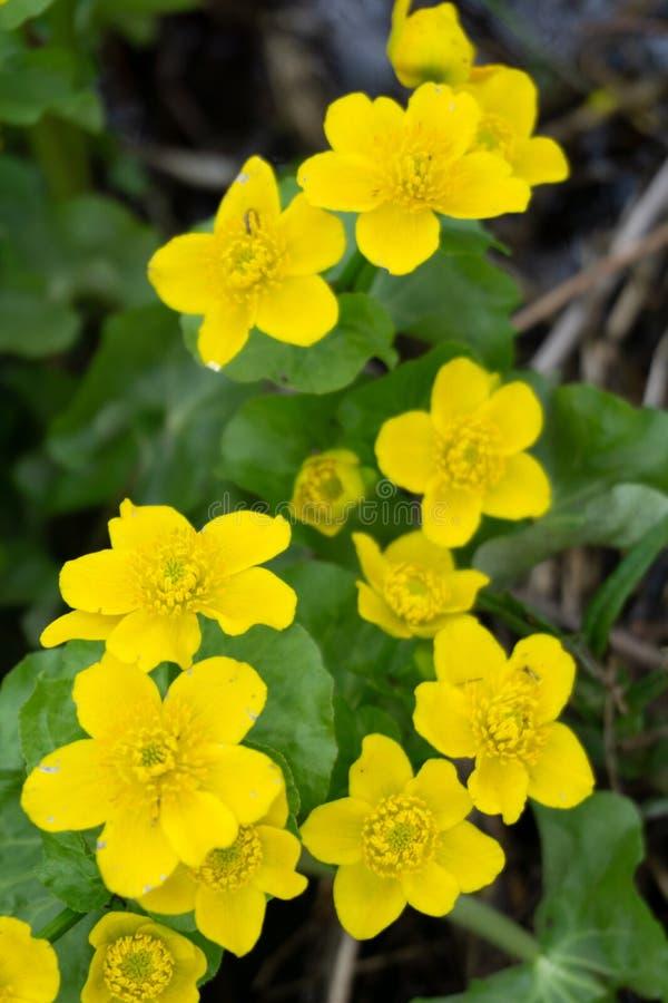 Wiosny tło z żółtymi Kwitnącymi Caltha palustris, znać jako kaczeńcowy i kingcup Kwiatonośne złociste colour rośliny wewnątrz zdjęcia royalty free