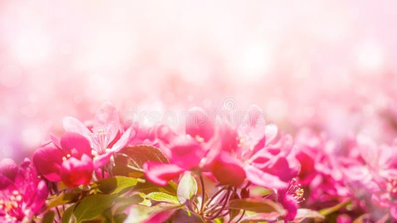 Wiosny tło z menchii okwitnięciem Piękna natury scena z kwitnącym drzewem i słońcem zdjęcie royalty free