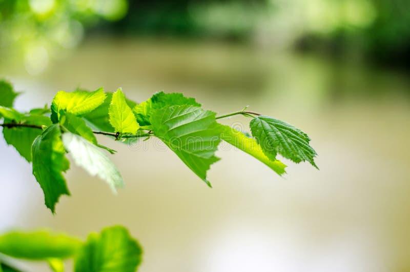 Wiosny t?o, zielony drzewo opuszcza na zamazanym tle obraz royalty free