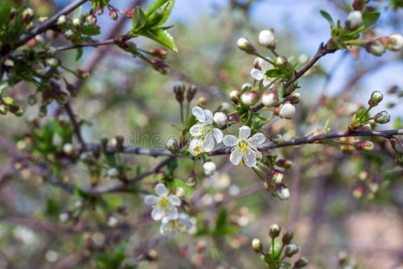 Wiosny wiśnia zdjęcia stock
