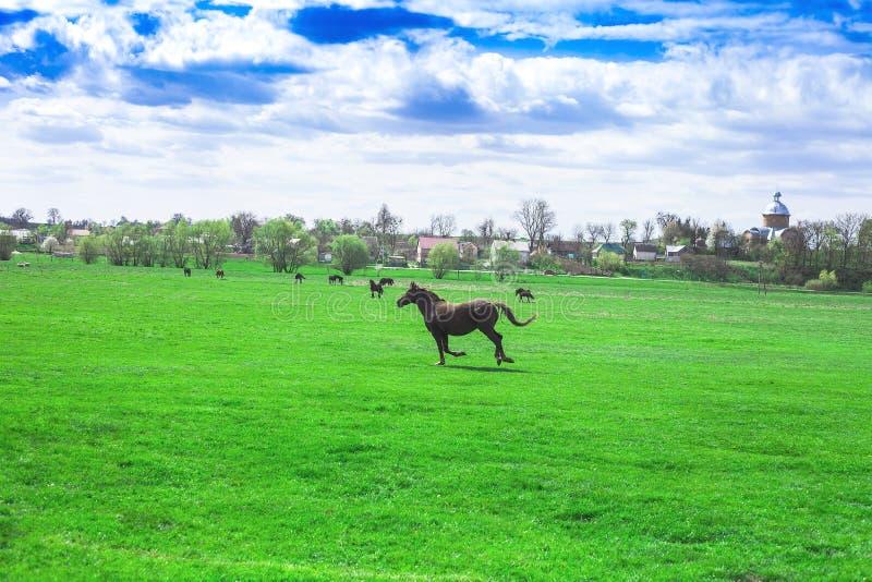 Wiosny wioski krajobraz i działający koń w zielonych polach zdjęcie stock