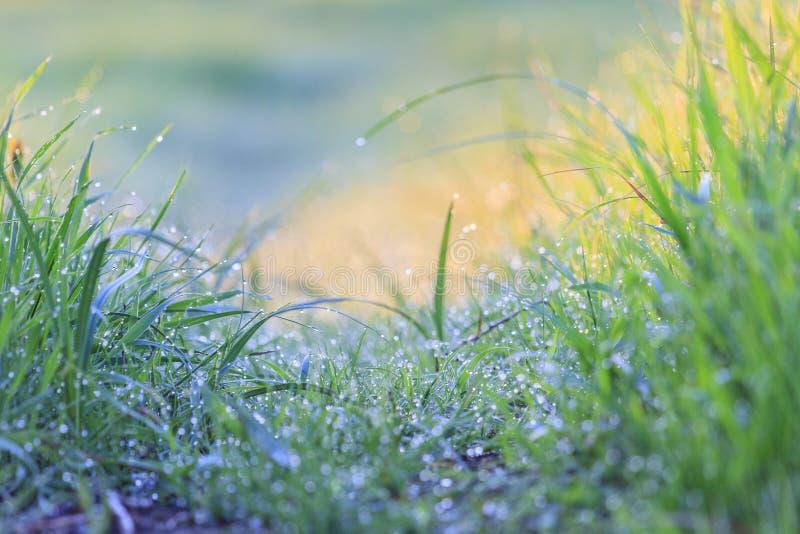 Wiosny zielona trawa i ranek rosa fotografia stock