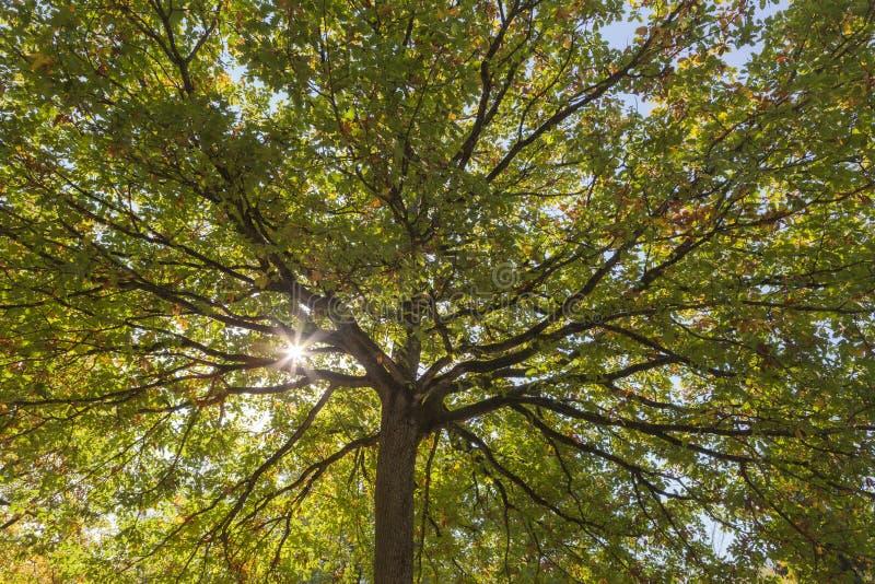 Wipfel eines Haselnuss-Baums lizenzfreies stockbild