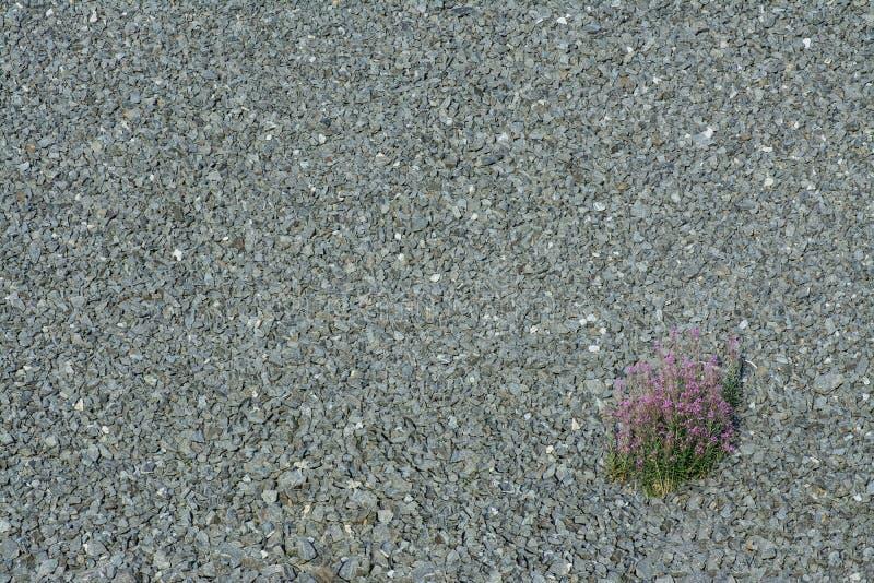 Żwir tekstura z wildflower obrazy royalty free