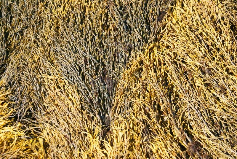 Wirbelnde Muster des gelben u. braunen Kelps des Auszuges - lizenzfreie stockbilder