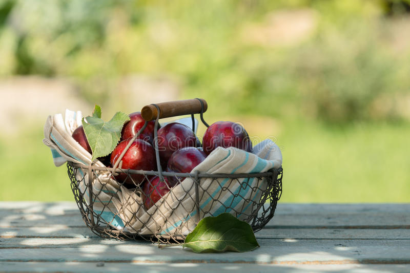 Wire basket of freshly picked plums royalty free stock photos