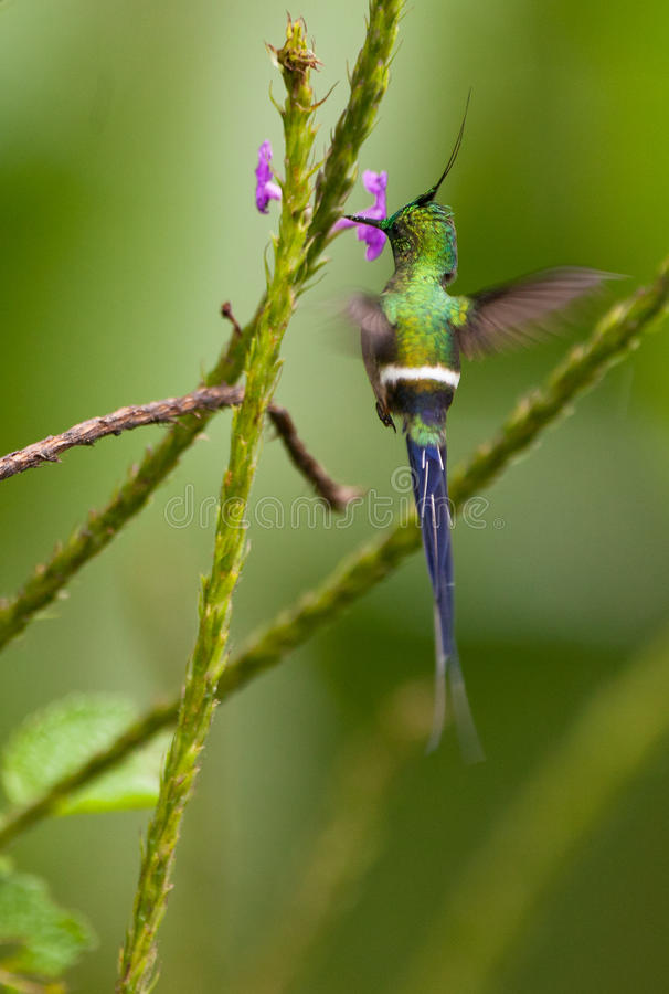 A Wire-Crested Thorntail humming royalty free stock photo