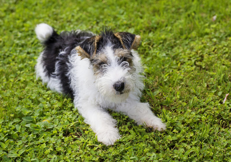 Wire Fox Terrier Puppy. Cute wire fox terrier puppy royalty free stock photo
