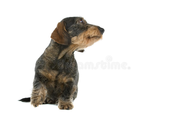 Download Wire-haired dachshund stock image. Image of furry, lovable - 12079793