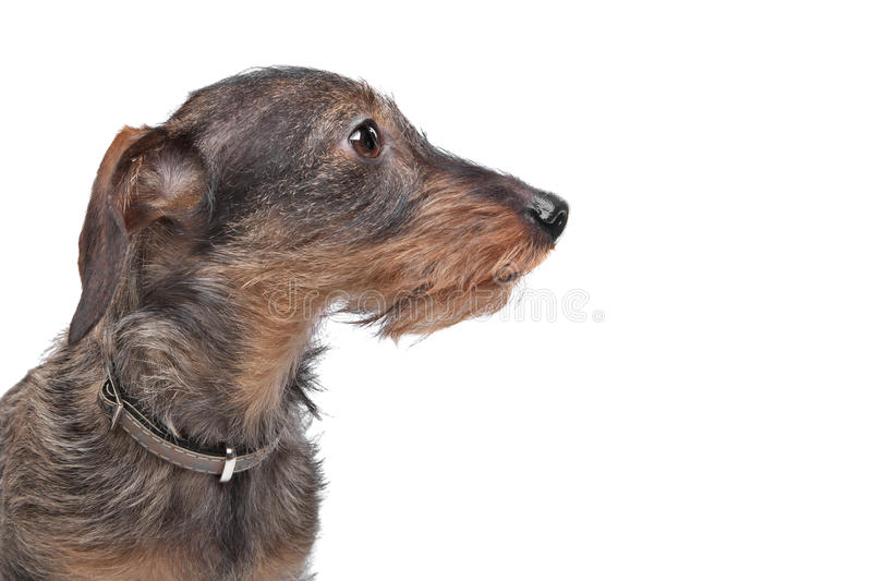 Download Wire-haired dachshund stock photo. Image of teckel, domestic - 24481486
