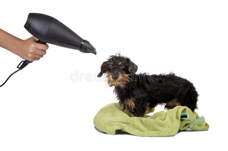 Wire haired dachshund being dried stock image