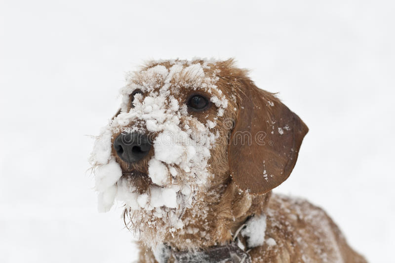 Wire-haired Dachshund covered in snow stock image