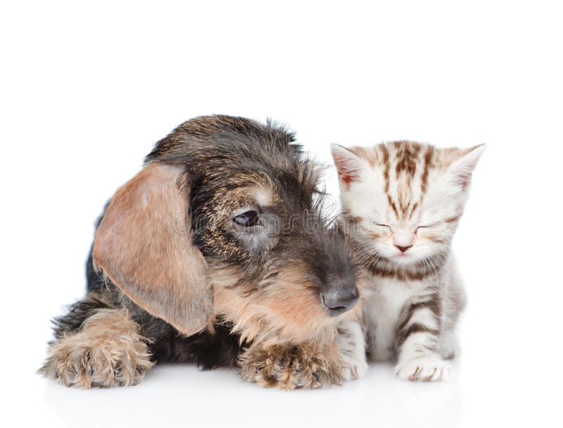 Wire-haired dachshund puppy and sleepy kitten together. isolated. On white background royalty free stock photo