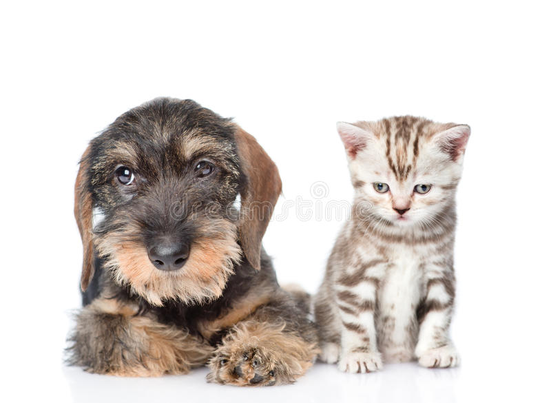 Wire-haired dachshund puppy and tiny kitten sitting in front view. isolated on white. Background royalty free stock image