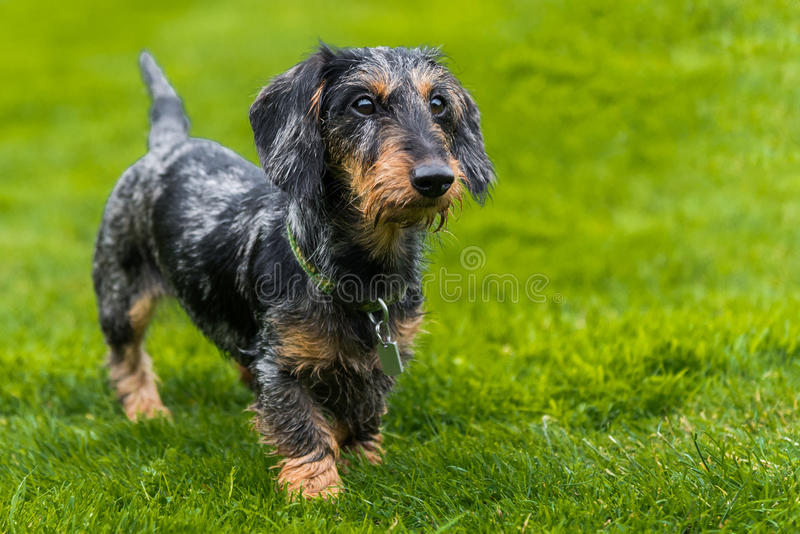 Wire-haired miniature dachshund walking across field stock image