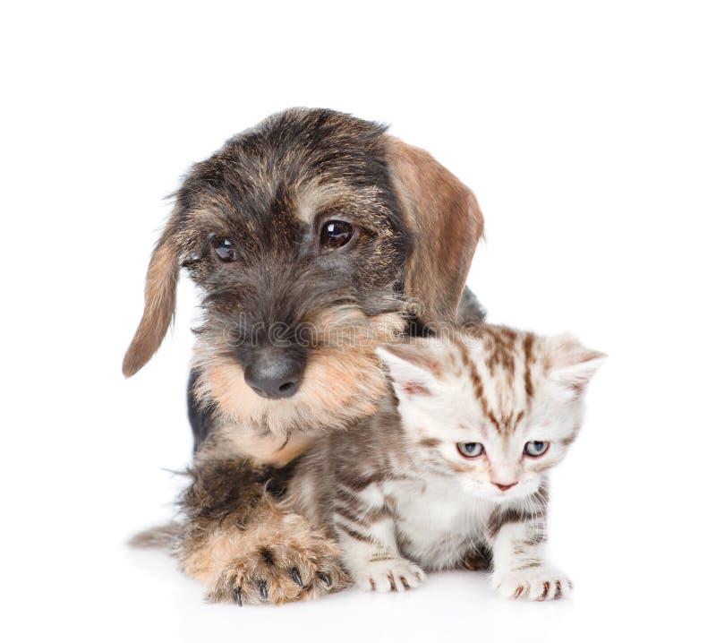 Wire-haired tekkelpuppy die uiterst klein katje koesteren Geïsoleerd op wit stock afbeelding