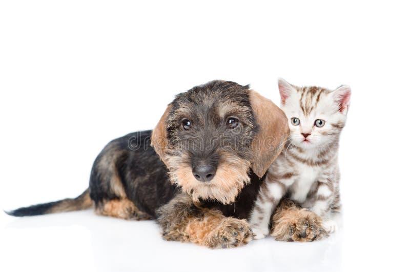 Wire-haired tekkelpuppy en uiterst klein katje samen Geïsoleerd op wit royalty-vrije stock fotografie