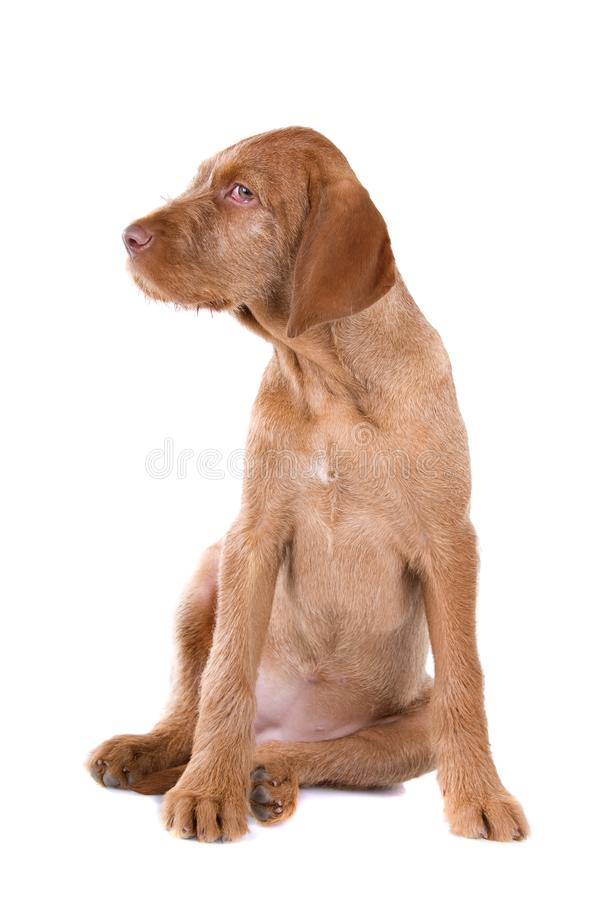 Download Wire Haired Vizsla Puppy Stock Image - Image: 14128501