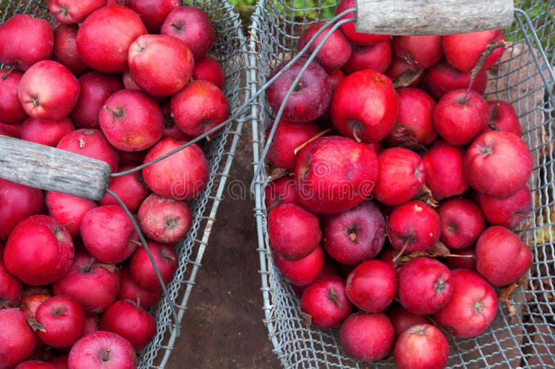 Wire mesh metal basket with red tasty fresh juicy healthy apples apple variety Gloster 69 in the garden on brick wall in meadow cl royalty free stock photo