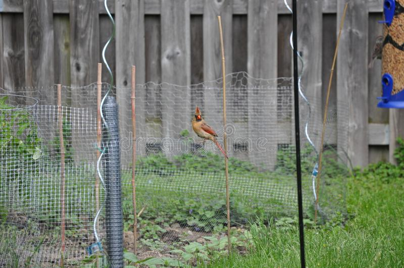 Wire Pose:  A female Cardinal drops by the backyard.. royalty free stock photography