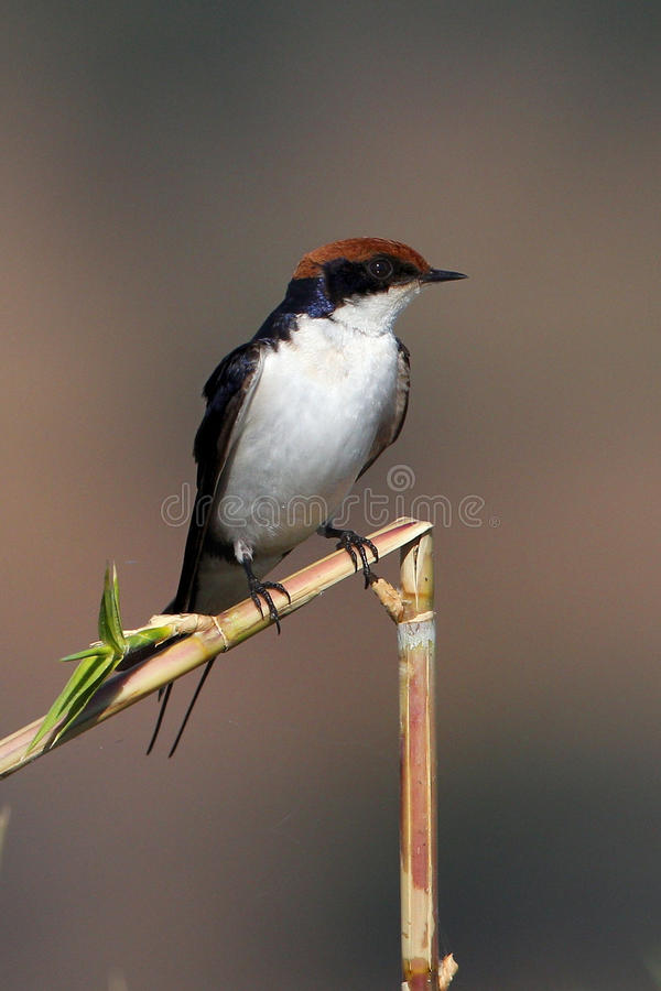 Wire-tailed Swallow Royalty Free Stock Photos